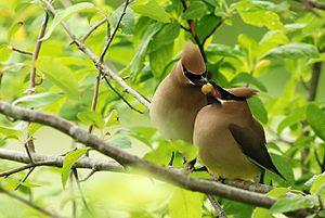 Cedar waxwings (Bombycilla cedrorum) passing a...