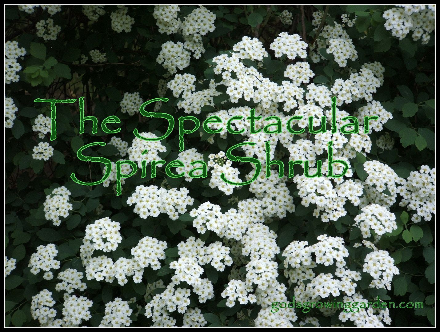Spirea by Angie Ouellette-Tower for godsgrowinggarden.com photo 002_zps336b33ef.jpg