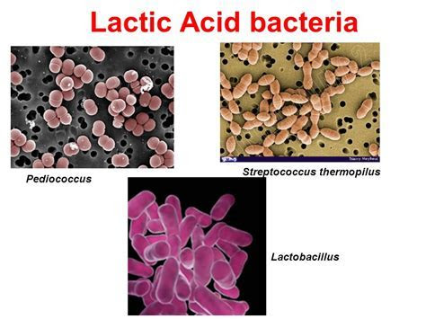 & Important Bacterial Groups in Foods   ppt video online download