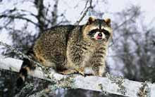 Biggest Raccoon On Record Wwwpicsbudcom