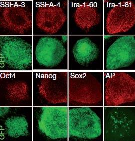 Imagen de células diferenciadas. | Foto: 'Nature'