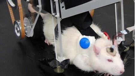 tikus jepang