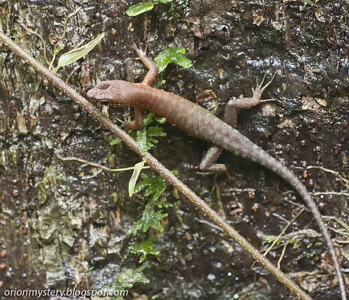 IMG_7127 copy Sabah Slender Skink (Sphenomorphus sabanus)