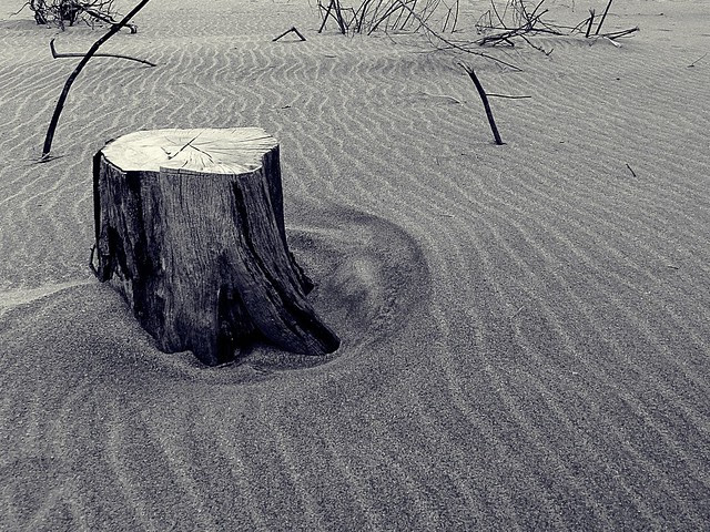 Pine tree stump on the beach.  Photographed by Bernard Eirrol Tugade