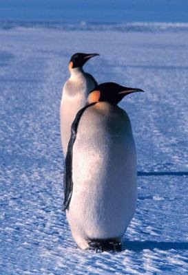Pinguinos En Peligro De Extincion Pinguinopedia