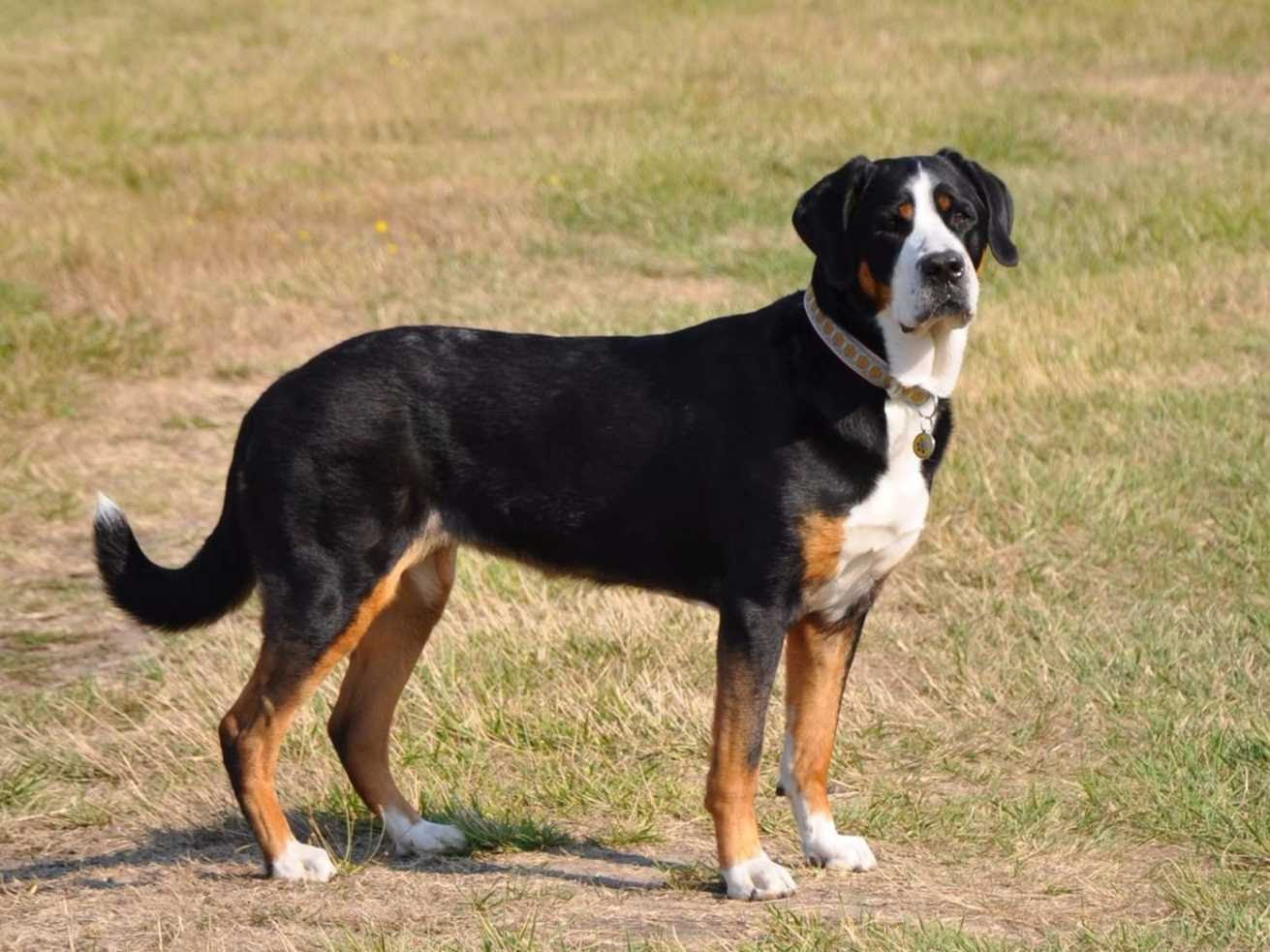 Seneca Greater Swiss Mountain Dogs  Greater Swiss Mountain Dog Puppies For Sale