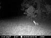 gray fox smells or hears something