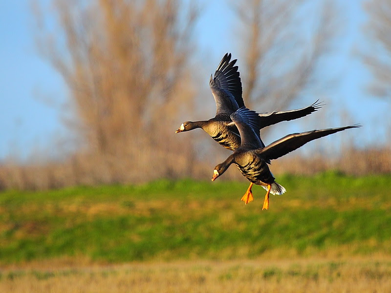 IMG_8973 White-Fronted Geese, Sacramento National Wildlife Refuge