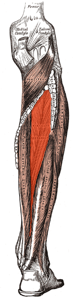 File:Tibialis posterior.png