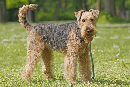 Airedale Terrier History, Personality, Appearance, Health and Pictures