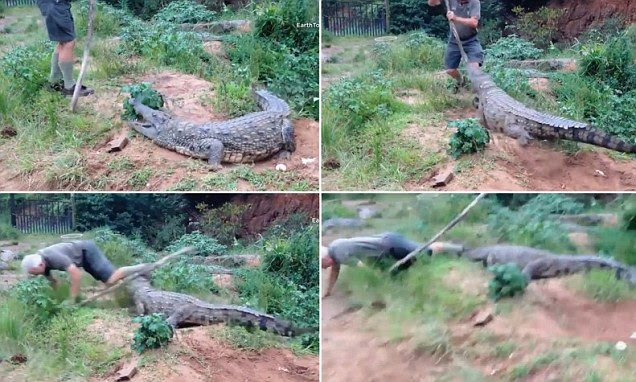 Terrifying moment crocodile grabs hold of elderly farmer's foot (perhaps next time he¿ll think twice about poking it with a stick)