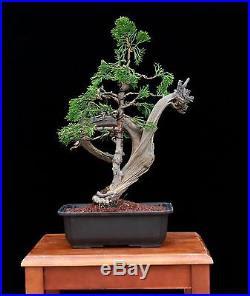 Bonsai Tree Phoenix Bonsai Tree