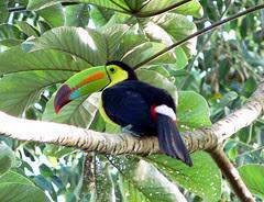 Tucán del Caribe, Keel-billed Toucan (Ramphastos sulfuratus)