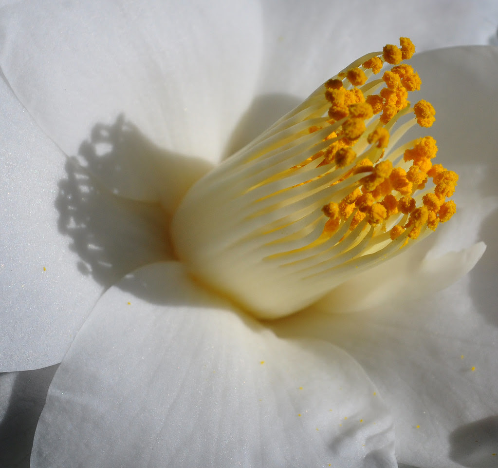 Camellia japonica 'Lily Pons' 4