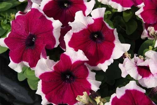 Apakah African Violets Termasuk Tanaman Hias Bunga ...