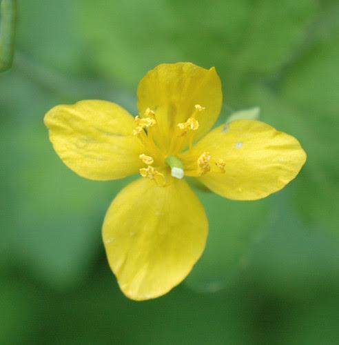 Chelidonium majus, Lesser Celandine, Detail of flower