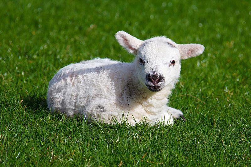 File:Baby lamb.jpg