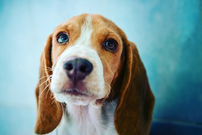View Ad: Beagle Puppy for Sale near Ireland