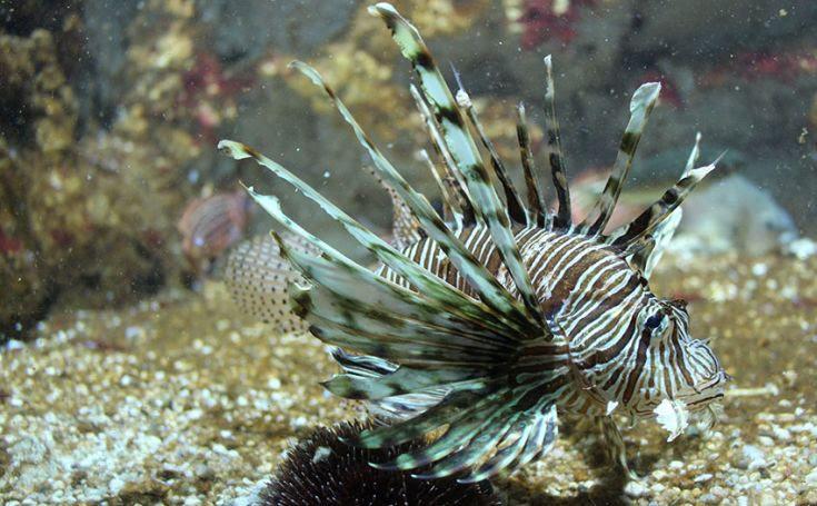 Λεοντόψαρα εμφανίστηκαν στη θάλασσα της Ρόδου