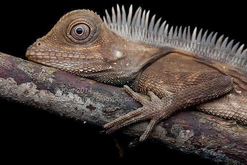 Bell's Anglehead Lizard IMG_6078 copy