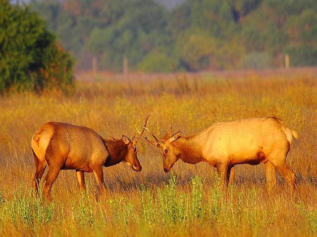 IMG_6687 Spikies Sparring, San Luis National Wildlife Refuge