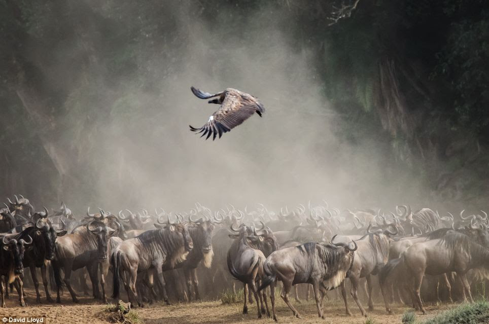 A hungry bird of prey circles a herd of wildebeest, one of a number of incredible close-up photographs that will be on display at the Royal Opera Arcade Gallery in Pall Mall, London