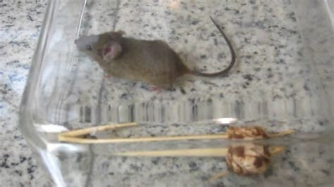 Homemade Humane Mouse Trap   YouTube