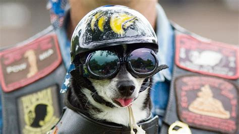 full hd wallpaper dog helmet glasses tongue desktop