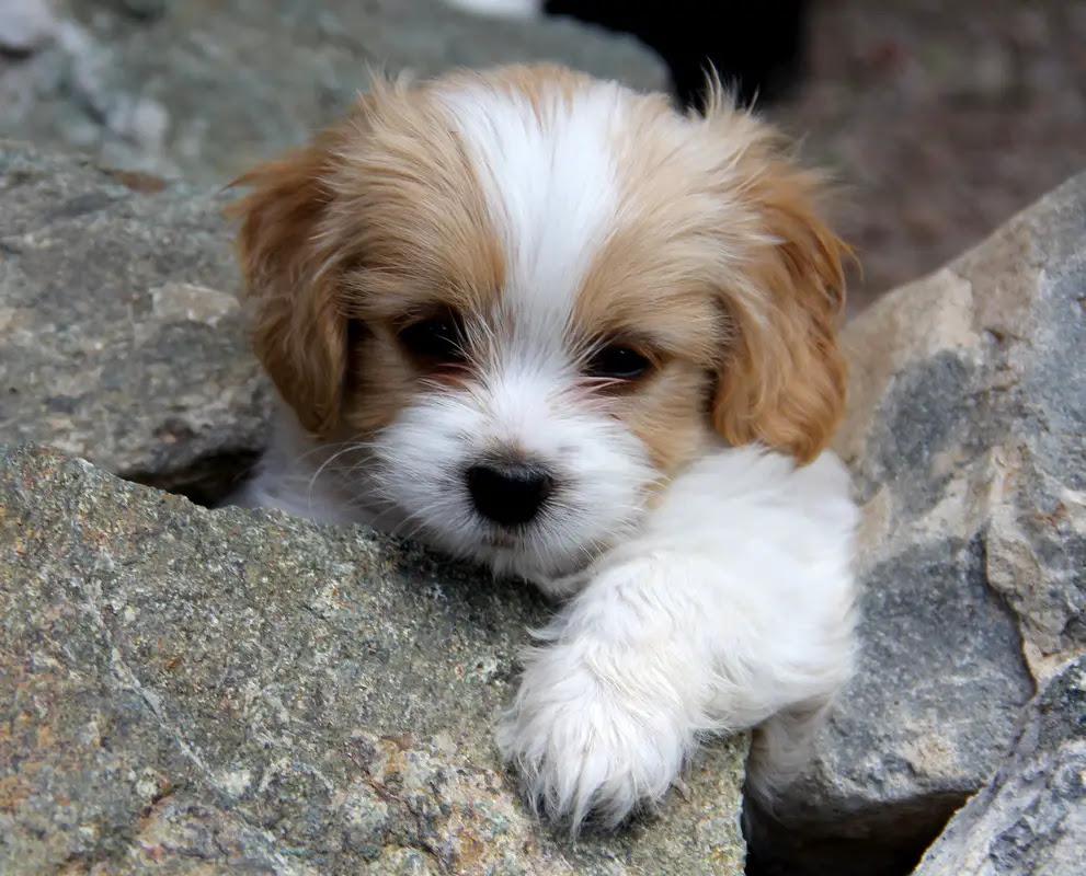 Cavachon BichonKing Charles mix Info, Temperament, Puppies, Pictures