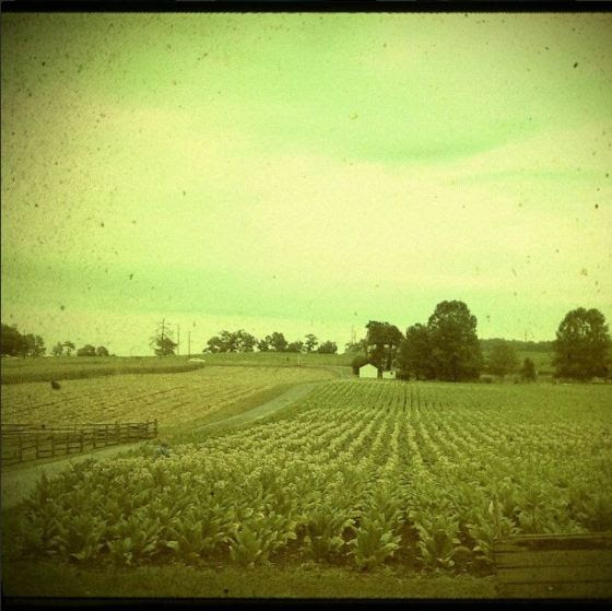 Tobacco fields in Pennsylvania