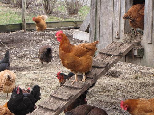 chicken path