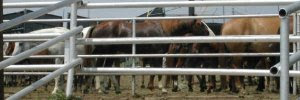 Healthy horses waiting to be slaughtered back when Kaufman's Dallas Crown horse slaughterhouse was in operation ~ photo courtesy of Kaufmanzoning.net