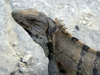 Um lagarto em Tulum, México