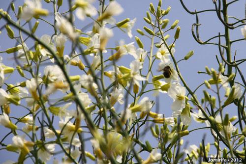 Abelhas a tirar o pólen das flores (4)