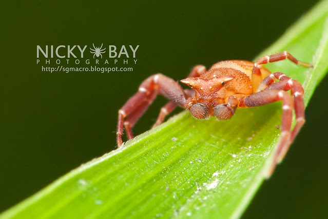Crab Spider (Thomisidae) - DSC_3452