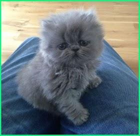 Kucing Lucu Warna Abu Abu