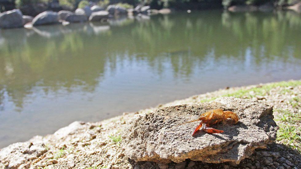 El cangrejo americano ya no vive a gusto en la laguna de Agudelo
