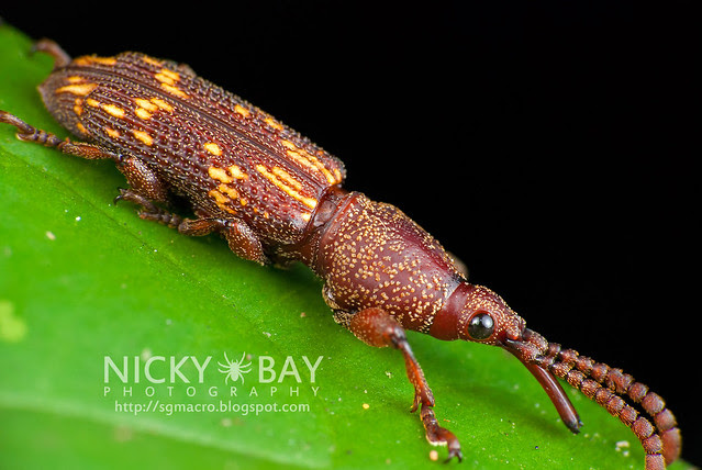 Straight-Snouted Weevil (Brentidae) - DSC_8143