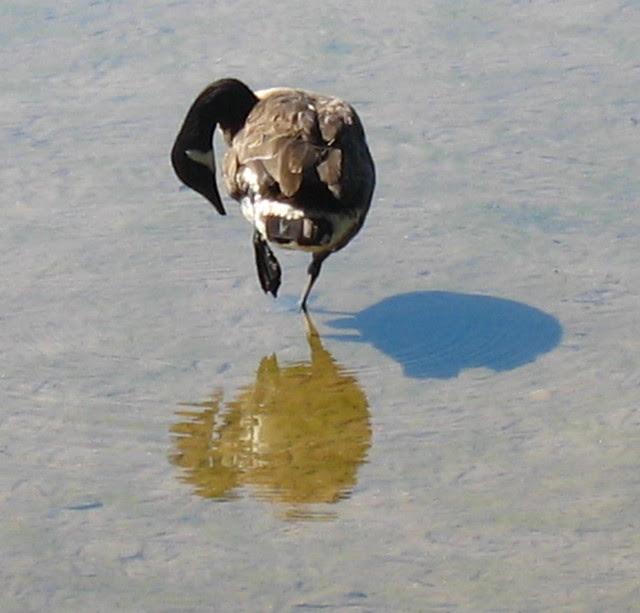 my blog post break geese IMG_1715