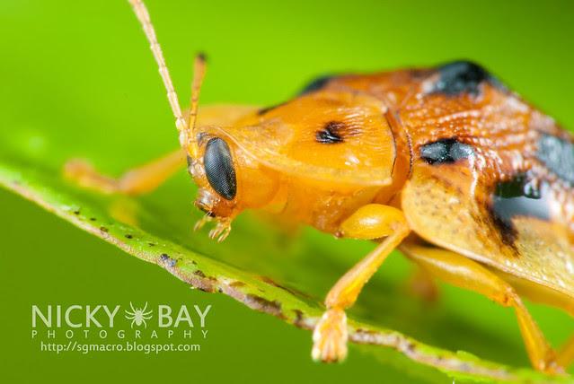 Tortoise Beetle (Hispinae) - DSC_4980