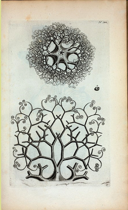 A. Stella Marina, Caput Medusae dicta; B. Est unus quinque ramorum, qui se mox in duos dispescit, et hi iterum in duos &c.; C.  Vertebra Membrorum.