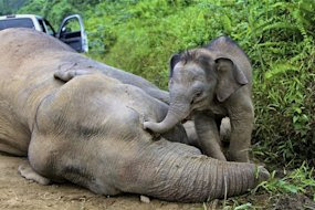 Malaysia considers reward in dead-elephants case