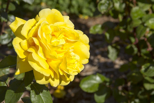 Yellow Rose by bahayla