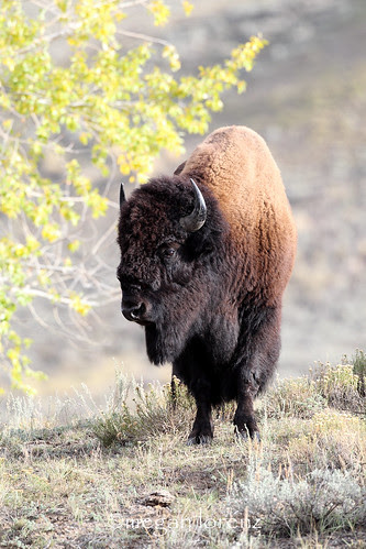 Bison Bison by Megan Lorenz