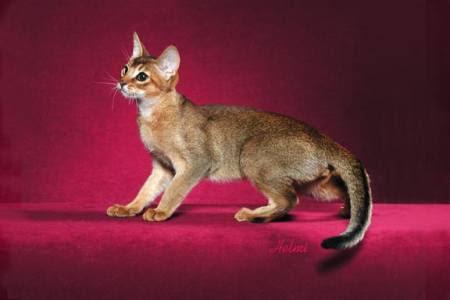 القطط وسلالاتها وتغذيتها وسلوكياتها