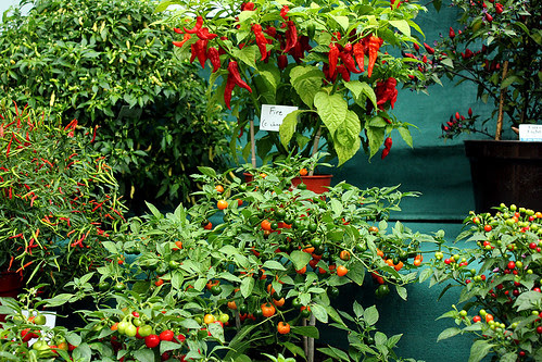 chilli display