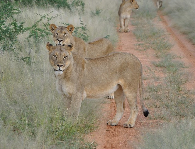 Two Lionesses Looking at us