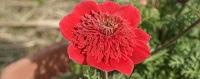 Anemone coronaria var. Flore pleno