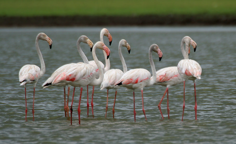 http://upload.wikimedia.org/wikipedia/commons/7/7c/Greater_Flamingoes_%28Phoenicopterus_roseus%29_W2_IMG_0072.jpg