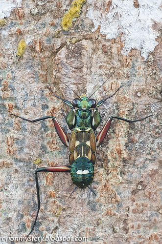 Metallyticus splendidus mantis IMG_5377 stk copy